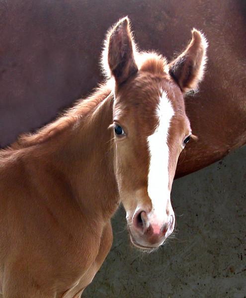 Foal face US.JPG
