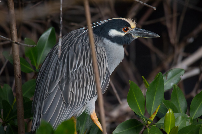 Yellow-crowned Night Heron So. FL 2020-2.jpg