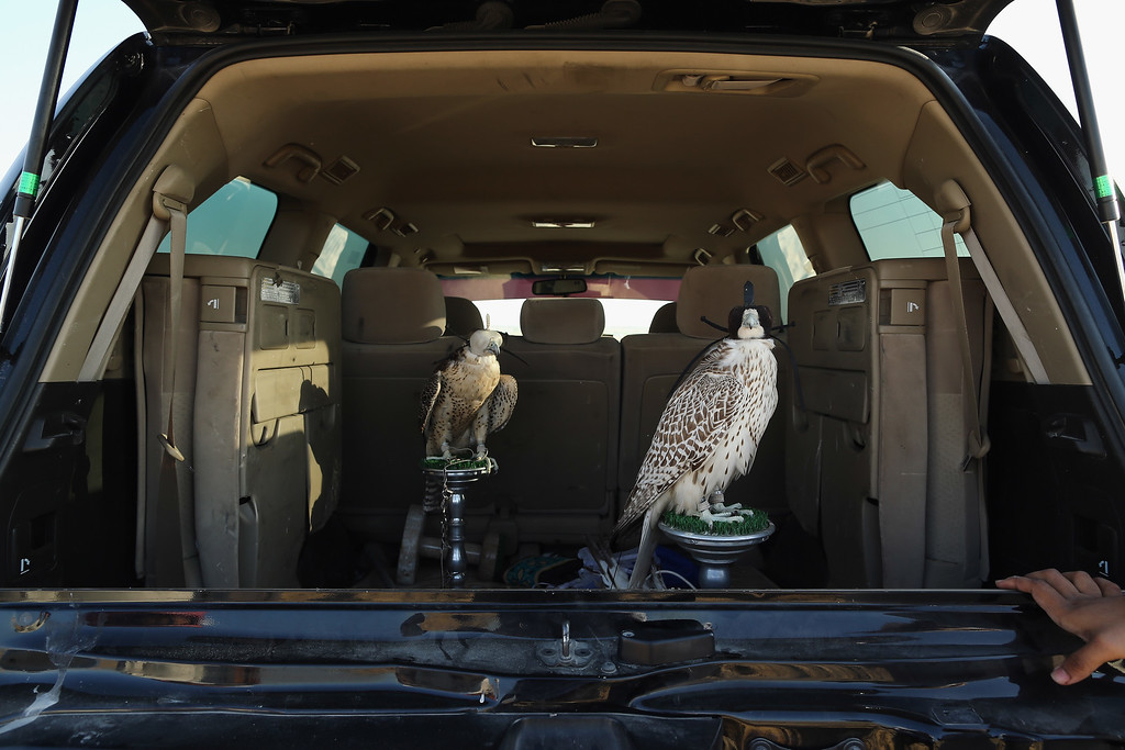 . Falcons wait to be trained in the back of a 4X4 on February 3, 2015 in Abu Dhabi, United Arab Emirates. (Photo by Dan Kitwood/Getty Images)