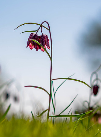 2017-04-13 Cricklade Fritilaries WPG