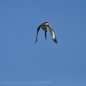 Bonte ijsvogel; Ceryle rudis; Pied Kingfisher; Martinpêcheur pie
