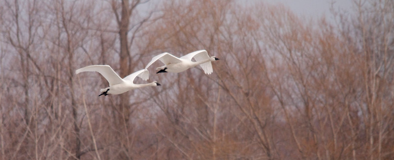 2011 swan migration aylmer (27 of 51).jpg
