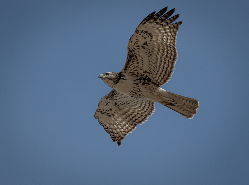 Red-tailed Hawk flyover (in AZ)