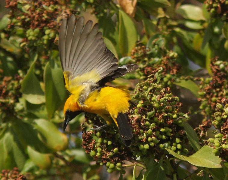 WB~Hooded Oriole holly tree wingspread1280.jpg