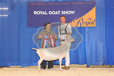 RAWF Dairy Goats Show LaMancha Champions and Candids 2017