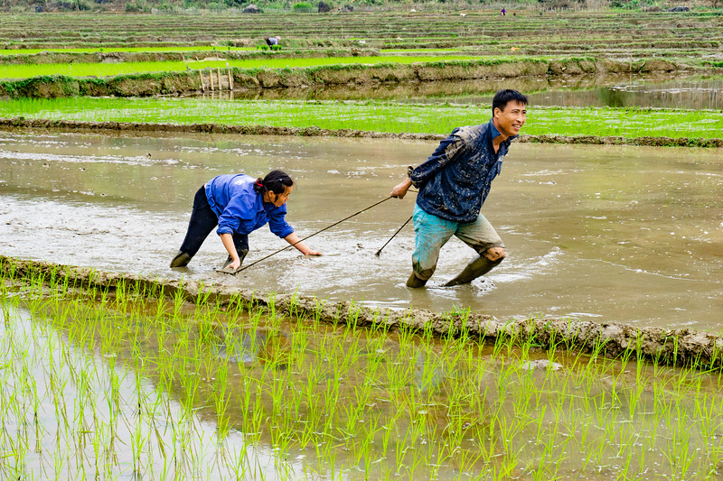 This couple are working together to level the rice field before replanting the rice plants.  This is hard work!