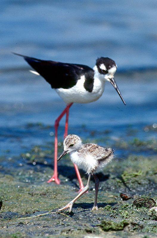 Black-necked Stilt with chick - California