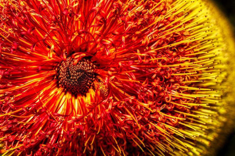 Flower 4, U. C. Santa Cruz Arboretum, California, 2010