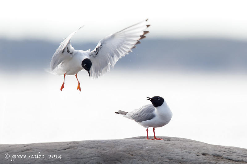 Bonapartes Gulls, Churchill, Canada, June 2014