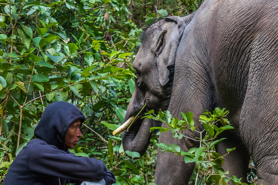 Mae Chaem Mahout Elephant