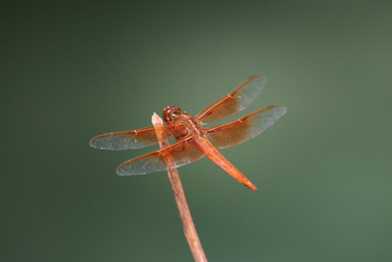 Orange Dragonfly Above Havasu Canyon Waters