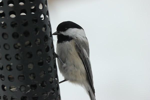 3 Mar 2021 Falaise Birds