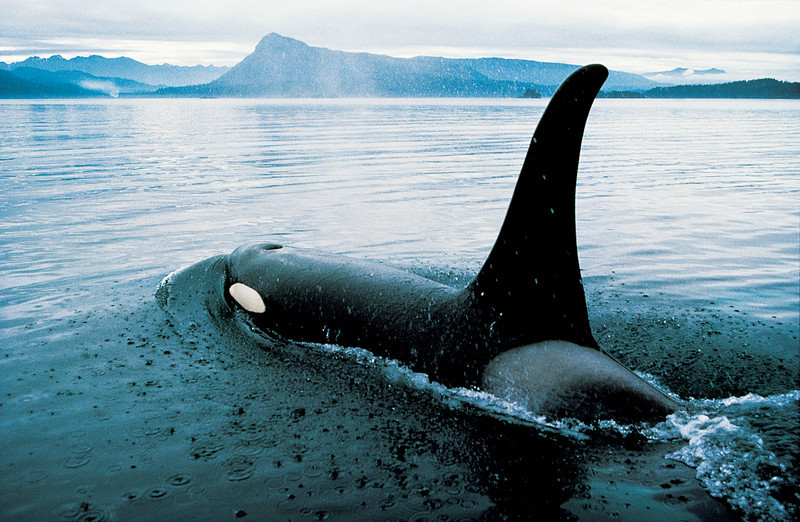 Orca off Vancouver Island
