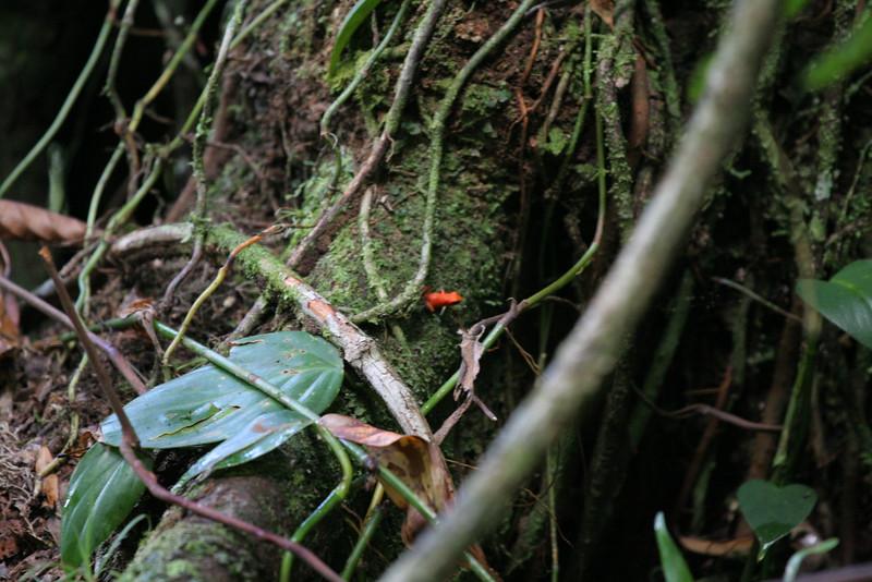 2006-02-21-0024-Thompson Family Adventures trip to Panama with Hahns-Day 4-Bocas del Toro, Salt Creek-Blue Jeans Poison Dart Frog.jpg