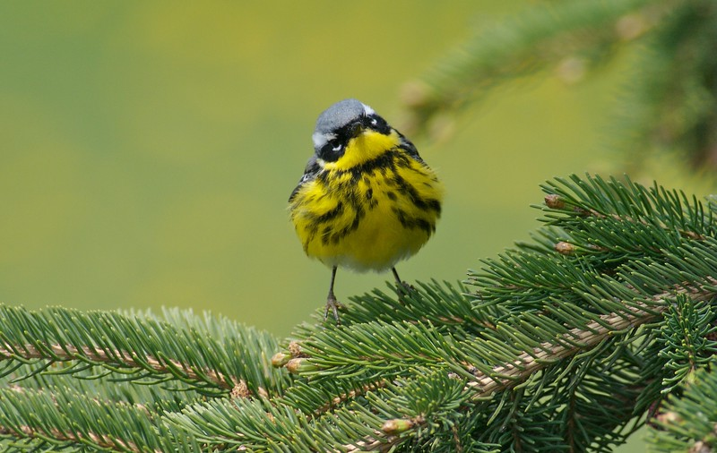 Magnolia Warbler [ May; Park Point, Duluth, Minnesota]