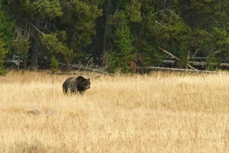 Grizzly Yellowstone National Park WY IMG_0000638.jpg