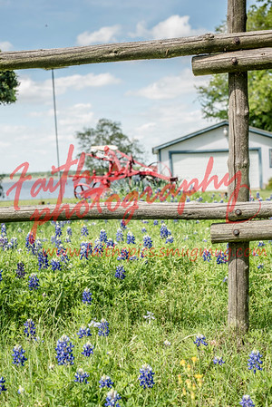 Bluebonnets and Hibiscus  2018