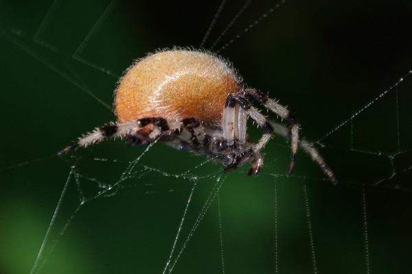 Spider - Orbweaver - Shamrock - (Araneus trifolium) - Dunning Lake - Itasca County, MN