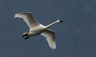 11-11-2018-swans