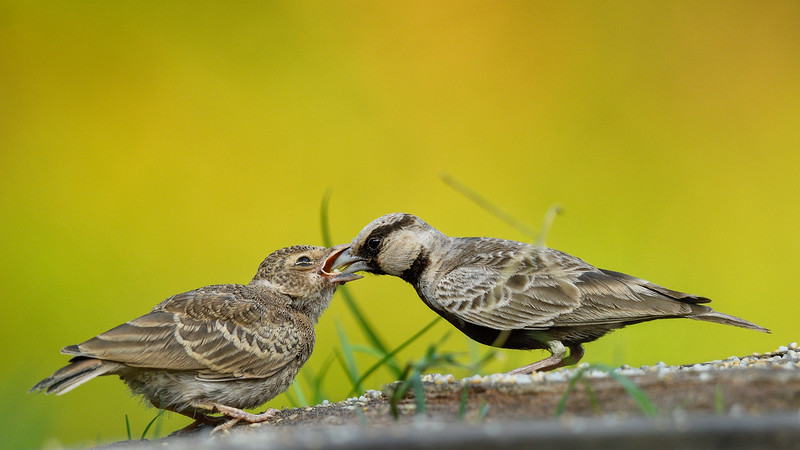 Ashy-crowned-sparrow-lark-feeding-chick-seq-02.jpg