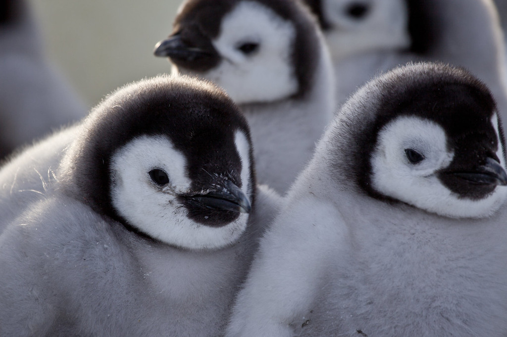 . Chicks in huddle.  Antarctica. �Penguins: Waddle All the Way,� premiers Nov. 23 on Discovery. Jane Lynch narrates this two-hour special, a Discovery/BBC co-production from award-winning filmmaker John Downer. (Photo by Frederique Olivier/JDP World All Media)