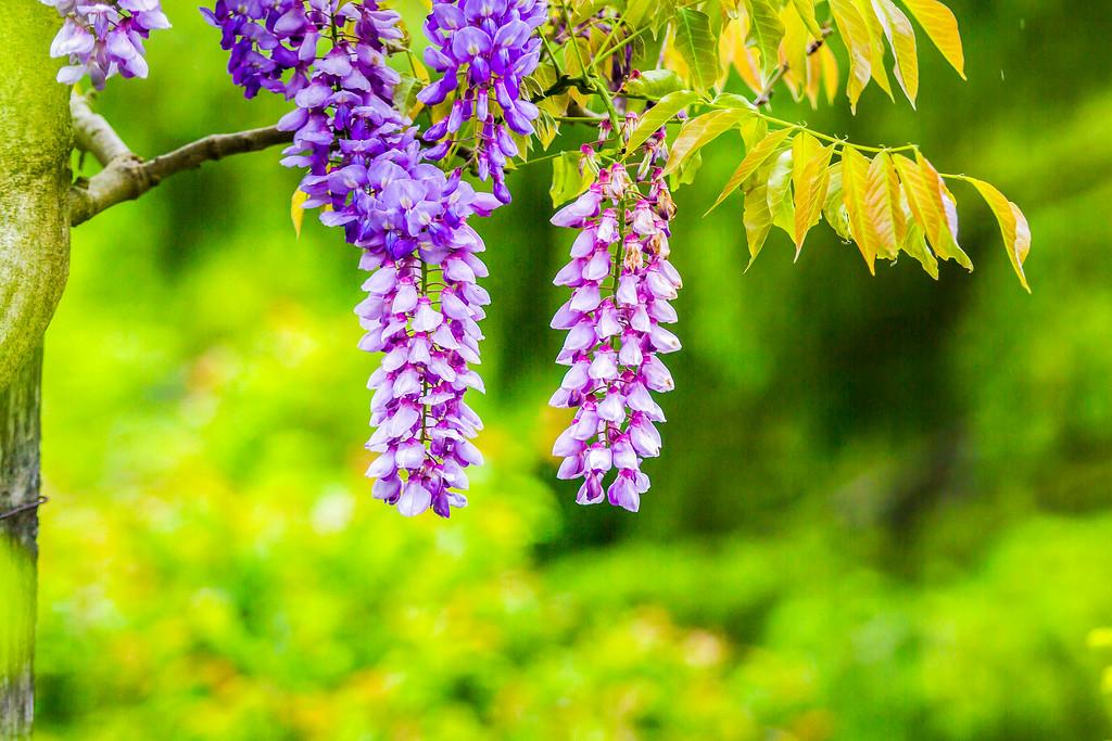 紫藤花,沉迷的爱