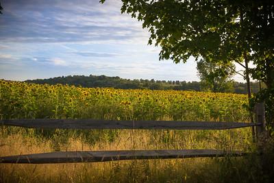 Sunflowers at The Korzek Farm
