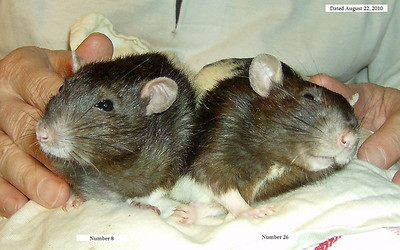 Euthanizing a Pet Rat: A Veterinarian's Advice on Deciding If and When - Pilny