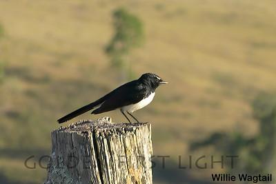 Willie Wagtail, Australia