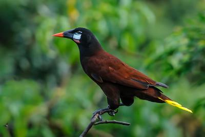 Nov. 9, 2014 - Costa Rica - Montezuma Oropendola