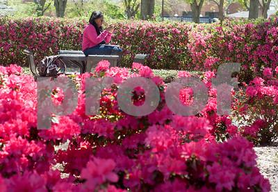 4/16/14 Azaleas Bloom by Sarah Miller