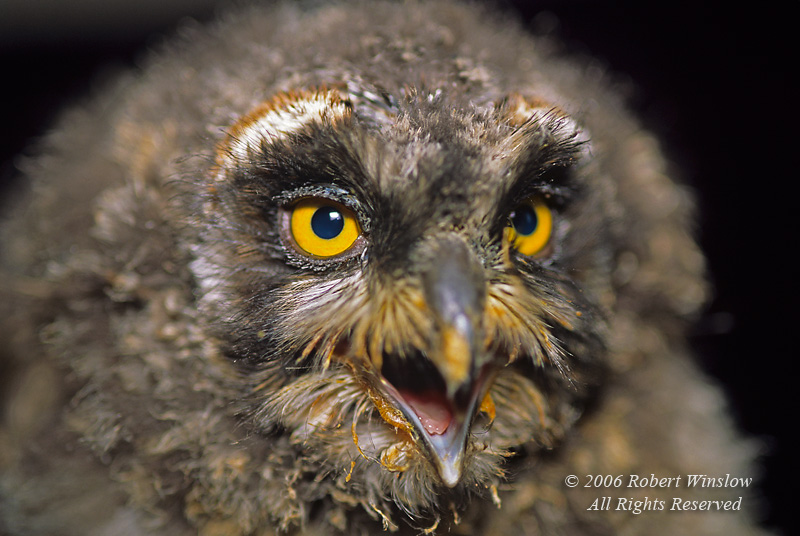 Fledgling Great Horned Owl, Bubo virginianus, controlled conditions