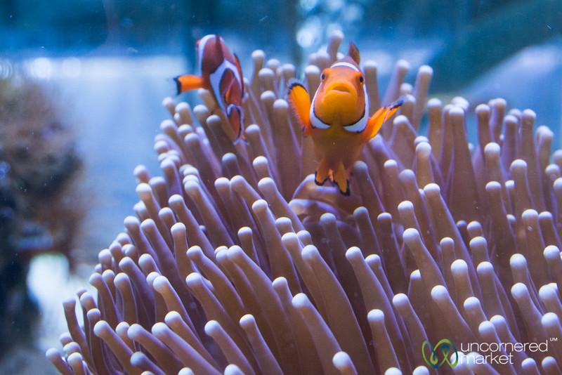 Clown Fish Swiming in Anemone - JCU Research Acquarium, Cairns, Queensland