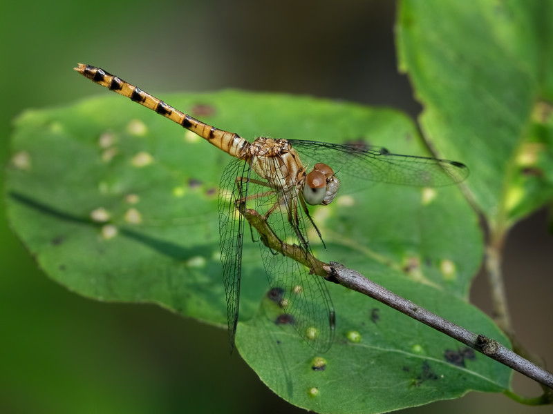 Female, Lums Pond State Park, DE