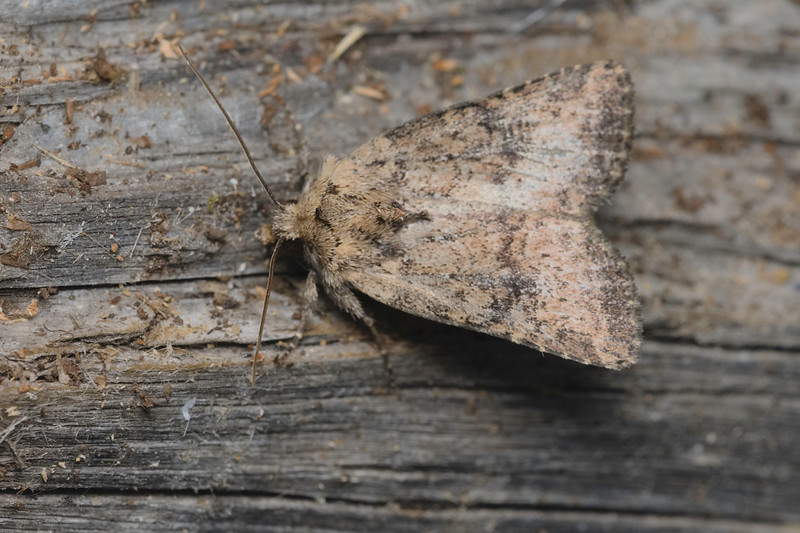 Cutworm moth- Homorthodes hanhami-July-04-19 11~16~28 PM
