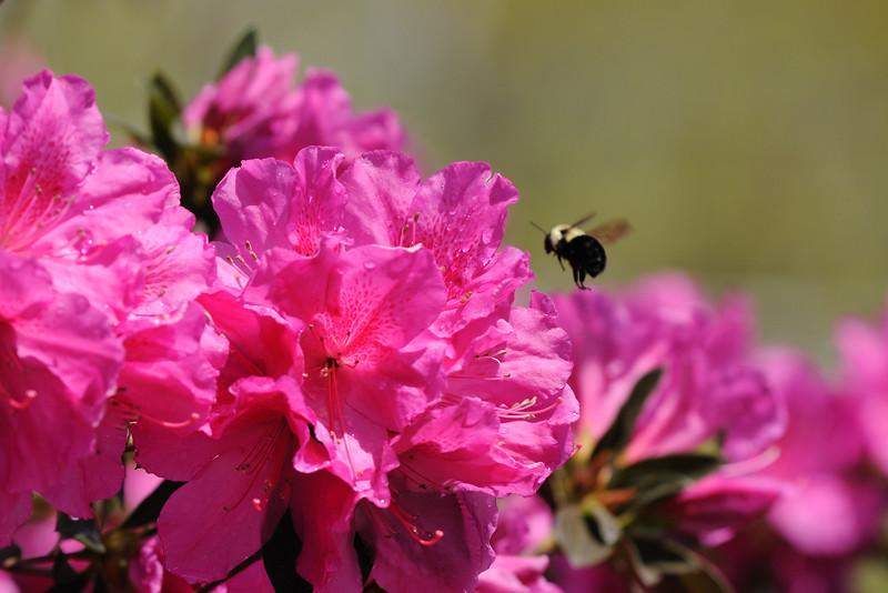 The azaleas are in full bloom and beautiful.