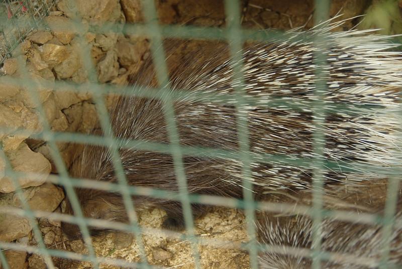 Jezozwierz w przyjaskinnym zoo - pamietam, ze dostalem kiedys od dziadka splawik zrobiony z jego kolca :)