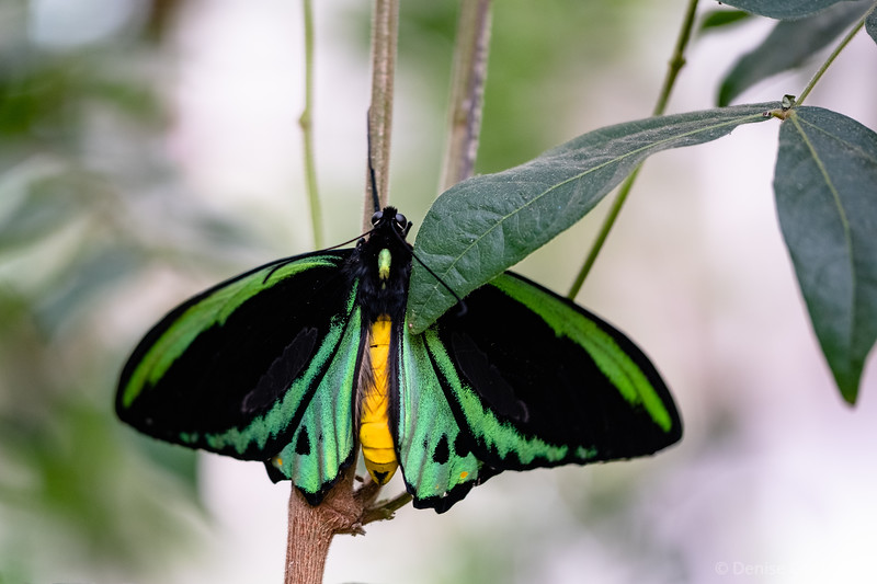 Cairns birdwing butterfly with open wings
