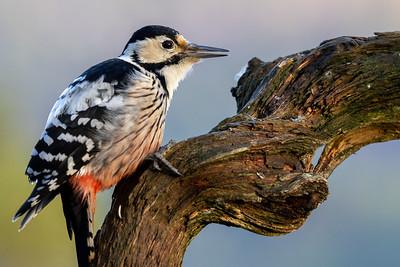 Hvitryggspett (White-backed woodpecker)