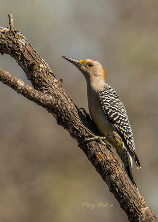Golden-fronted Woody LL_DWL0815.jpg