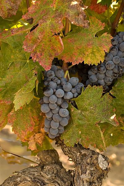 menerbes grapes.jpg