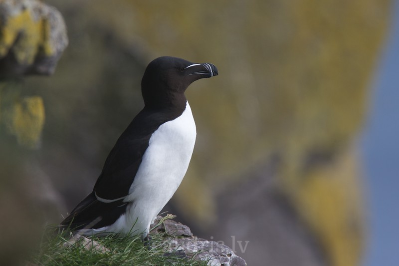 A razorbill stands on the edge of a cliff