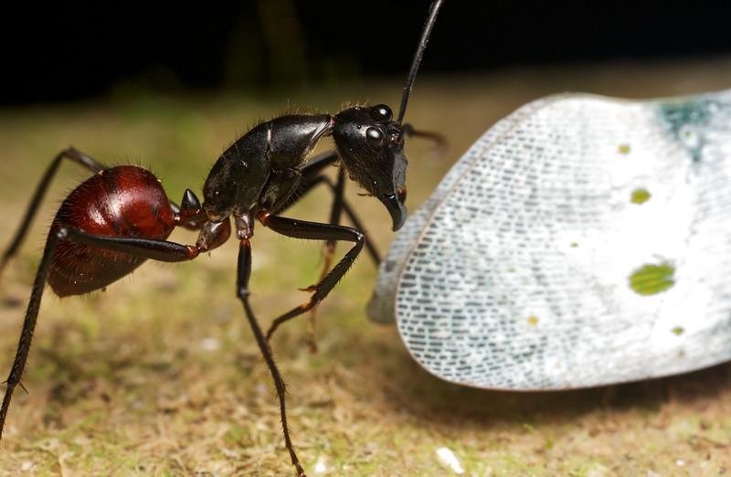 Carpenter ant (Camponotus gigas) drinking honeydew from lanterbug (Pyrops ruehli)