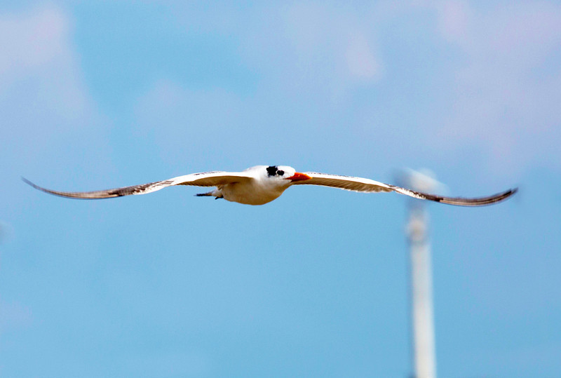 Wonderfully sinuous wings as the Tern glides.