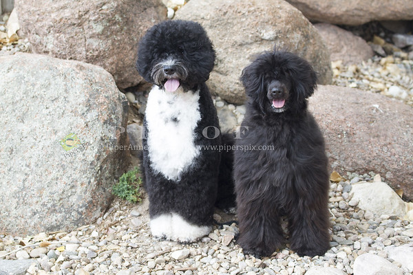 Portugese Water Dog_PAW