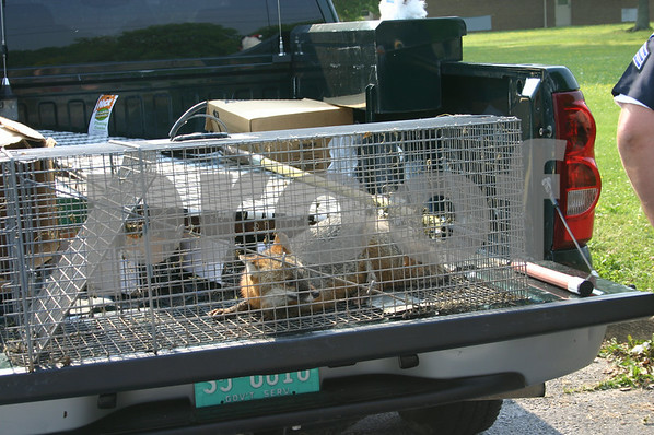 Foxes at Unicoi County Middle School - May 2005