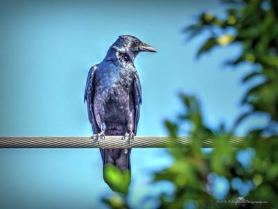 American Crow  (Corvus brachyrhyrhynchos)