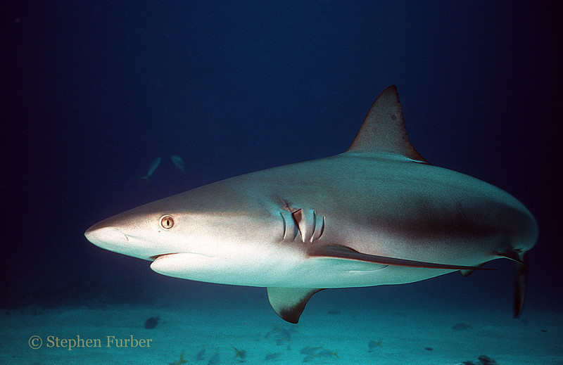 REEF SHARK - Long Island Shark Dive; Exumas, Bahamas