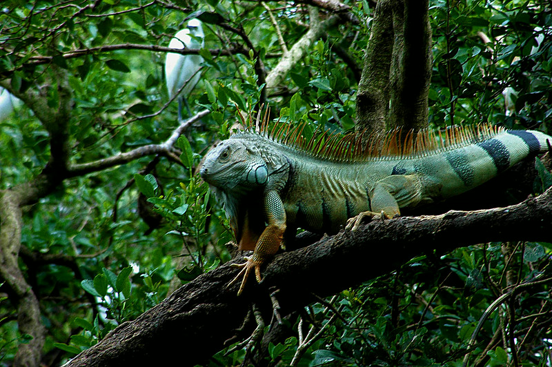 Huge Iguana Puerto Rico.About 7-8 feet long .jpg