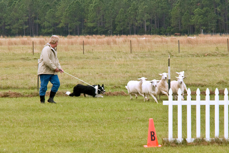 #402 (Sunday) - Asher Dell Tristan, a Border Collie, scored 81.5 for second place on Sunday on the Course A, Intermediate level.  Tristan is owned by Ron & Kim Brautigam.
